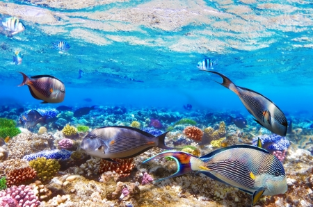 surgeon fish: Coral and Fish-surgeon  in the Red Sea. Egypt, Africa Stock Photo