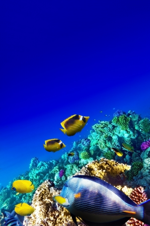 exotic butterflies: Coral and fish in the Red Sea. Egypt, Africa