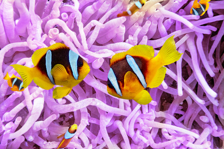 diving: Sea anemone with Anemonefish in  beautiful underwater world.