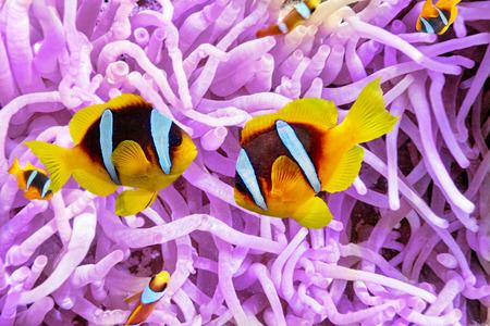 Zeeanemoon met Anemonefish in een prachtige onderwaterwereld.