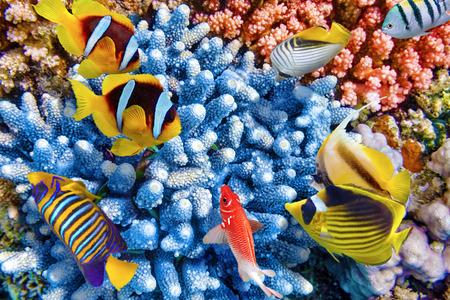 picada: Maravilloso y hermoso mundo submarino con corales y peces tropicales.