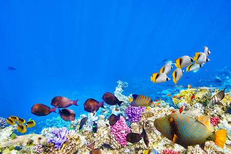tropical fish: Wonderful and beautiful underwater world with corals and tropical fish. Stock Photo