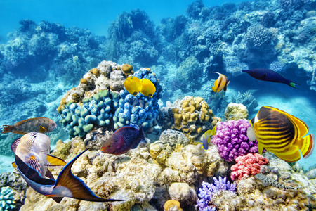 barrier reef: Wonderful and beautiful underwater world with corals and tropical fish. Stock Photo