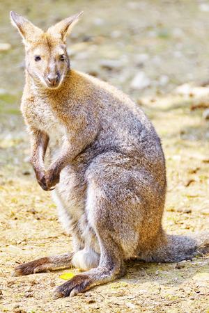 habitat: Cute kangaroo their natural habitat. National Forest. Stock Photo