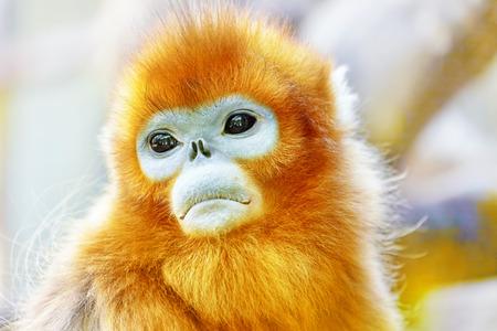 Cute golden Snub-Nosed Monkey in his natural habitat of wildlife.