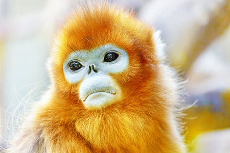monkey in a tree: Cute golden Snub-Nosed Monkey in his  natural habitat of wildlife. Stock Photo