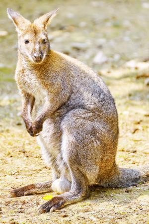 skippy: Cute kangaroo their natural habitat. National Forest. Stock Photo
