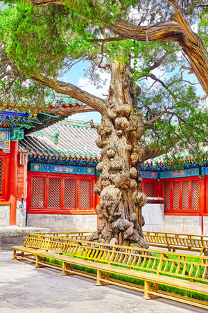 confucian: Old tree near Temple of Confucius at Beijing - the second largest Confucian Temple in China. Beijing.