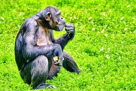 simian: Chimpanzee in its natural habitat in the wild. Stock Photo