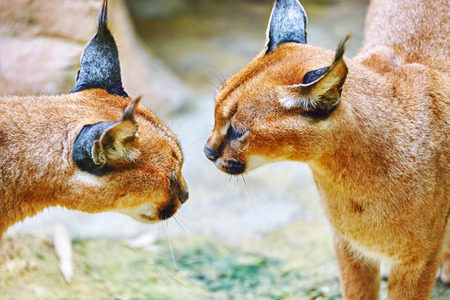 hiss: Beautiful and Wild Caracal or Prairie lynx in its natural habitat. Stock Photo