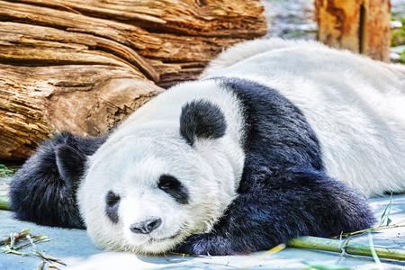 oso panda: Panda el dormir lindo en su hábitat natural. Foto de archivo