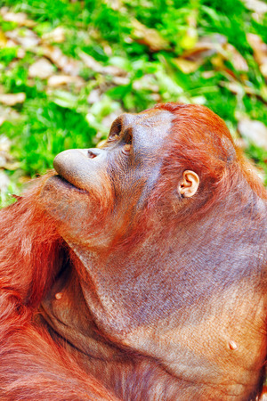 cabeza de mujer: Orang Utan en su h�bitat natural en la naturaleza.