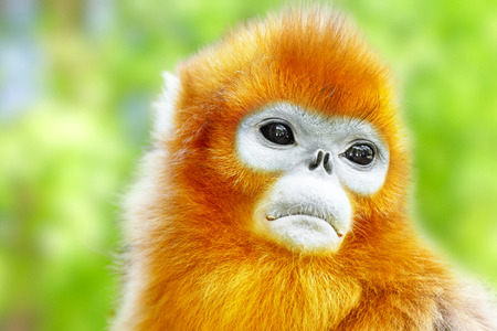 Cute golden Snub-Nosed Monkey in his  natural habitat of wildlife. 스톡 콘텐츠