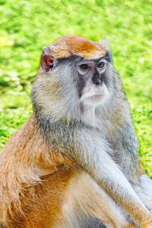 hussar: Patas monkey in its natural habitat of wildlife.