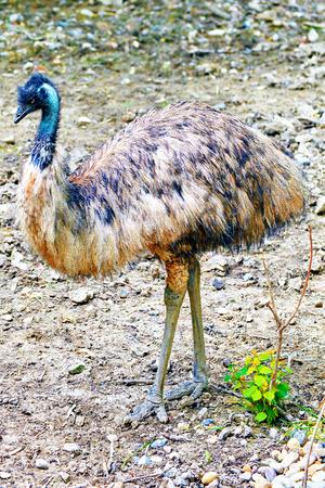 biped: Animal- Ostrich Emu in its natural habitat.