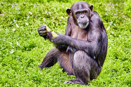 natural habitat: Chimpanzee in its natural habitat in the wild. Stock Photo