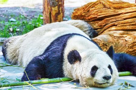 oso panda: Panda el dormir lindo en su h�bitat natural. Foto de archivo