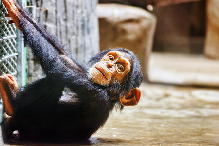 neonatal: Chimpanzee Baby in its natural habitat in the wild. Stock Photo