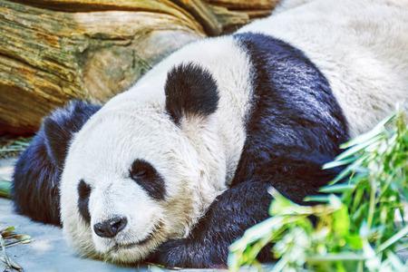 habitat: Cute sleeping panda in its natural habitat.