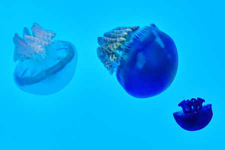 natural habitat: Beautiful jellyfish in their natural habitat.