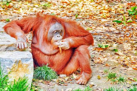 simian: Orang Utan in its natural habitat in the wild.