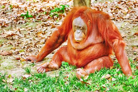 hominid: Orang Utan in its natural habitat in the wild.