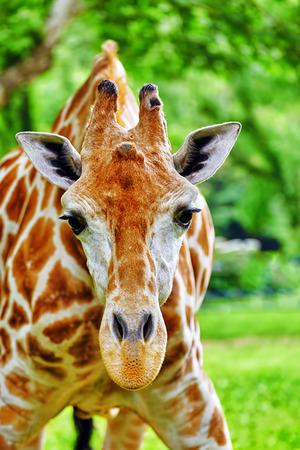 girafe: Giraffes their natural habitat. National Forest.