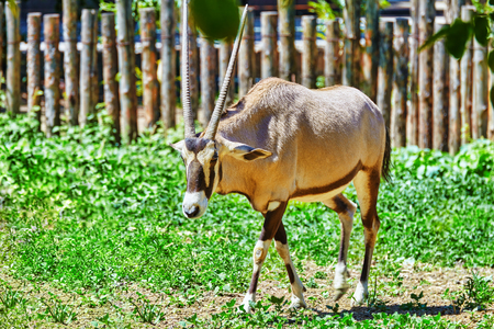 grazer: Oryx Gazella and their natural habitat. National Forest.