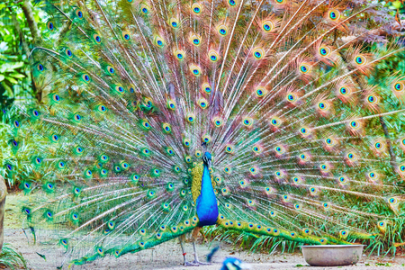 pavo: Beautiful peacock with feathers out (Pavo cristatus). Stock Photo