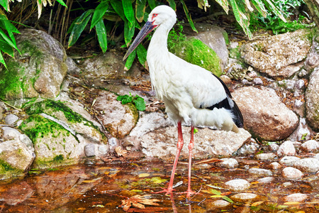 natural habitat: Oriental white stork in their natural habitat.
