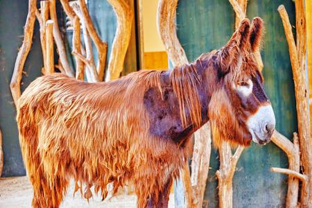burro: Un burro descuidado y aut�nomo triste.