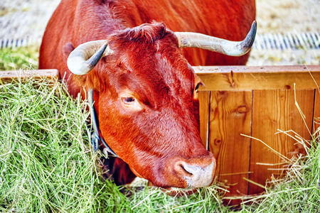 ruminate: Farm animal. Close up portrait of cow in stable. Stock Photo
