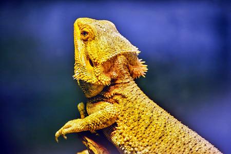 sudio: Bartagame animal , (Amphibolurus barbatus, Pogona barbatus)