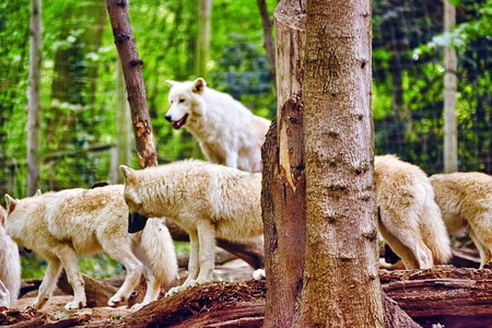 wolf couple: Pack of gray wolves (canis lupus) in its natural habitat. Stock Photo