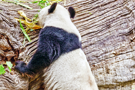 masticate: Cute bear panda walks on nature around den. Stock Photo