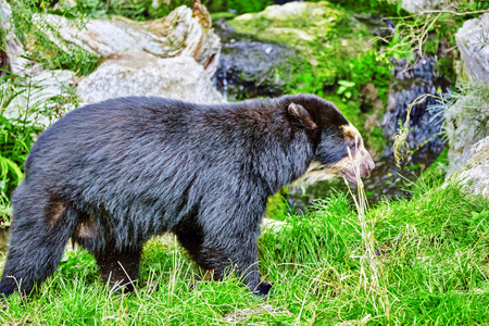 spectacled: Spectacled Bear in its natural habitat. Stock Photo