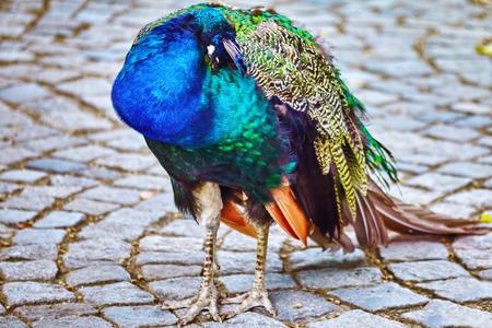 pavo  cristatus: Beautiful peacock close-up view. (Pavo cristatus).