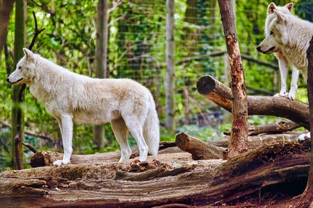 white fur: Pack of gray wolves (canis lupus) in its natural habitat. Stock Photo