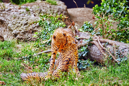 inhabits: Couple of Cheetah play (Acinonyx jubatus)-is a big cat in the subfamily Felinae that inhabits most of Africa and parts of Iran. Stock Photo