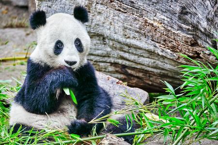 oso panda: Panda linda oso masticar activamente un brote de bambú verde.