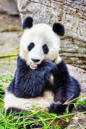 chew: Cute bear panda actively chew a green bamboo sprout. Stock Photo