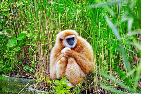 handed gibbon: White-Handed Gibbon  monkey in its natural habitat of the wild.