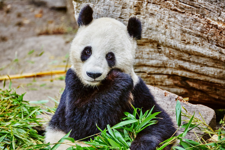 masticate: Cute bear panda actively chew a green bamboo sprout. Stock Photo