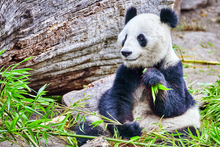 actively: Cute bear panda actively chew a green bamboo sprout. Stock Photo