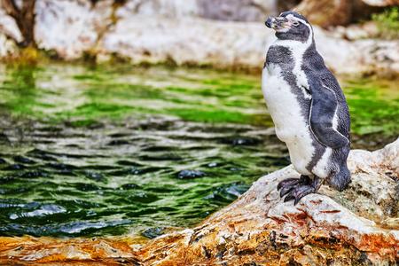 jackass: Jackass Penguin in its natural habitat in nature.