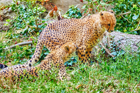 inhabits: Couple of Cheetah (Acinonyx jubatus) is a big cat in the subfamily Felinae that inhabits most of Africa and parts of Iran.