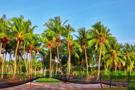 coco: Árbol de coco con frutas-cocos, en una isla tropical en las Maldivas, parte media del Océano Índico. Foto de archivo