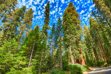 Forest of ancient sequoias in Yosemeti National Park. California. USA Stock Photo