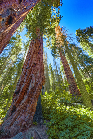 Forest of ancient sequoias in Yosemeti National Park. California. USA