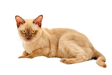 Le chat birman de couleur chocolat, est une race de chat domestique, originaire de Thaïlande, dont on pense que ses racines sont proches de l'actuelle Thaï-Birmanie. Banque d'images